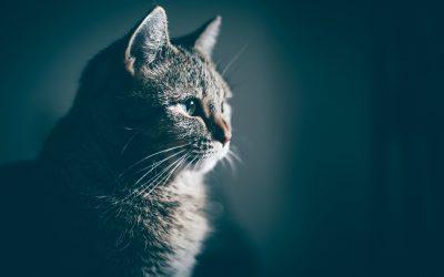 Comment rafraichir son chat pendant la canicule ?