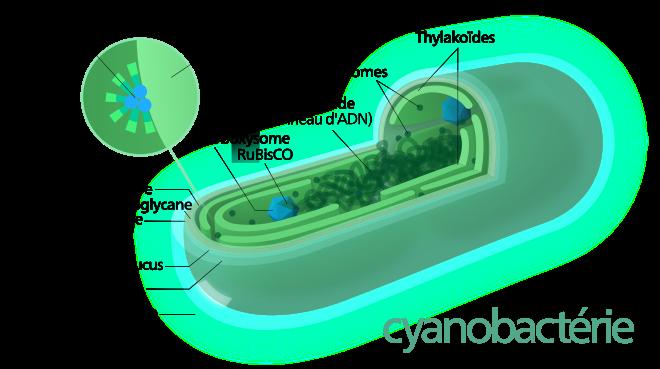 Cyanobactéries shéma